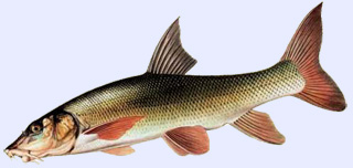 Poisson carnassier : le barbeau
